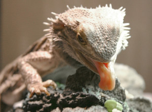 Beardie Eating A Green Bean